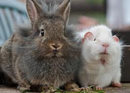 putting rabbits and guinea pigs together