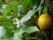 can rabbits eat lemon tree branches