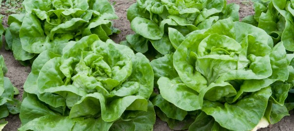 can rabbits eat butterhead lettuce